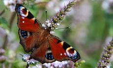 Natur_insekter_fjaril