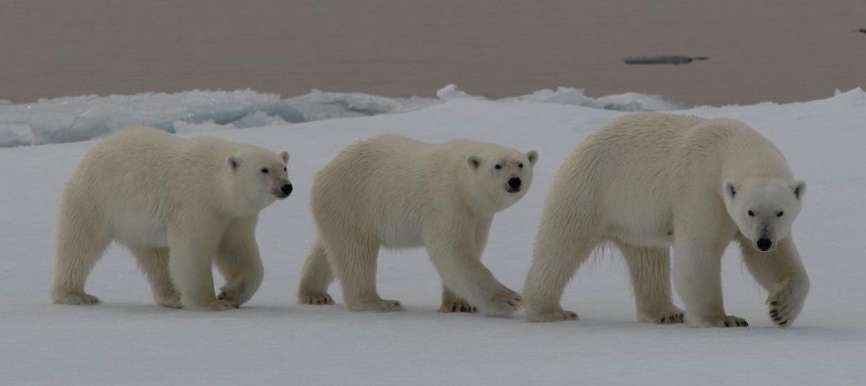 Svalbardkväll_Vargön_isbjörnar_20170209-001