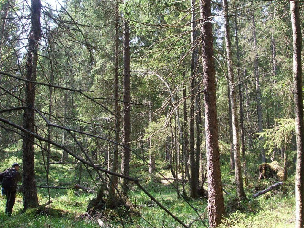 Kroppefjäll vandringsgruppen granar skog
